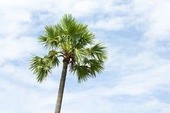 Sugar palm tree and sky Stock Image