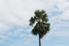 Sugar palm tree Royalty Free Stock Photo