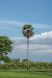 Sugar palm Tree  on sky background Royalty Free Stock Photos