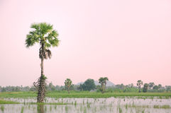 Sugar palm tree. On the lake Stock Images