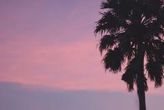 Sugar palm tree Royalty Free Stock Photos