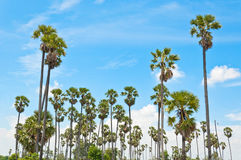 Sugar palm tree, toddy palm Royalty Free Stock Photo