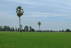 Sugar palm tree or toddy palm tree in field rice Stock Photos