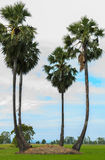 Sugar palm tree or toddy palm tree in field rice Royalty Free Stock Images