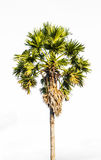 Sugar palm tree Royalty Free Stock Photos