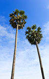 The Sugar palm trees and the blue sky background Royalty Free Stock Images