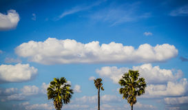 Sugar palm trees and blue sky. Stock Photos