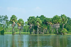 Sugar palm trees at the border of the swamp Stock Photos