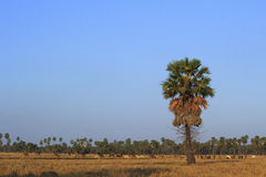 Sugar palm trees and cows. Stock Images