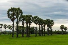 Sugar Palm Trees dans le domaine vert Photographie stock