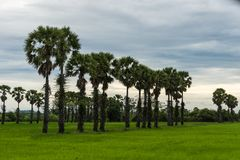 Sugar Palm Trees en campo verde Fotografía de archivo