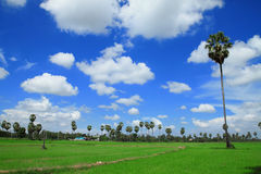 Sugar palm trees in the field ,thailand Stock Photography
