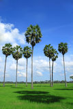 Sugar palm trees in the field ,thailand Stock Photos