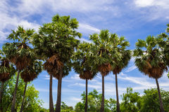 Sugar palm trees. In garden Stock Photo