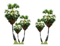 Sugar palm trees growing up on the roadside in countryside landscape of Thailand isolated on white background. royalty free stock photography