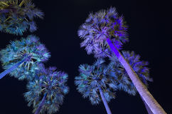 Sugar palm trees Royalty Free Stock Images