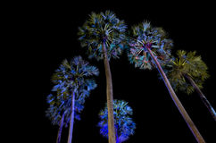 Sugar palm trees Stock Images