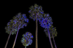 Sugar palm trees Stock Photography