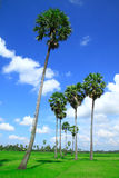 Sugar Palm Trees In The Field ,thailand Stock Photo