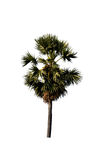 Sugar palm trees isolated. On white background Royalty Free Stock Photos