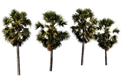 Sugar palm trees isolated. On white background Royalty Free Stock Image