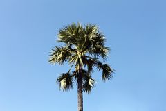 Sugar palm trees middle on blue sky background stock image