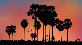 Sugar palm trees in the morning light Stock Photo