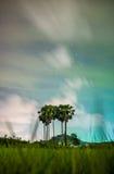 Sugar palm Stock Image