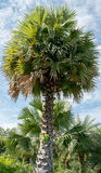 Sugar palm trees in a park Royalty Free Stock Image