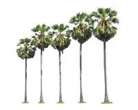 Sugar palm trees Royalty Free Stock Photos