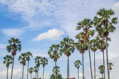 Sugar palm trees. Sky background stock photo