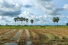 Sugar palm trees. Royalty Free Stock Photo