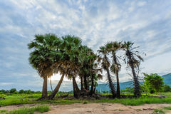 Sugar palm trees. Royalty Free Stock Images