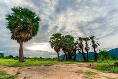 Sugar palm trees. Stock Image