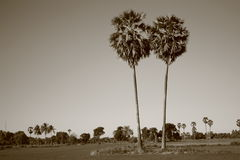 Sugar palm trees Royalty Free Stock Photography