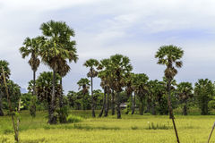 Sugar palms on the rice field Royalty Free Stock Photography