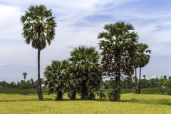 Sugar palms on the rice field Royalty Free Stock Image
