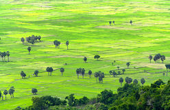 Sugar palms on the rice field view from above is to harvest Royalty Free Stock Images