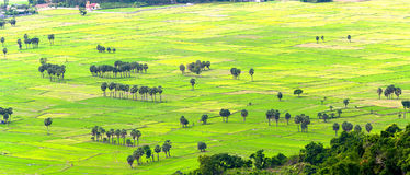 Sugar palms on the rice field view from above is to harvest Stock Image