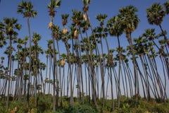 Sugar Palms sull'azienda agricola nel Gujarat, India Fotografie Stock Libere da Diritti