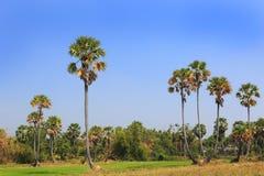 Sugar palms tree Stock Photo