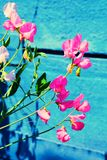 Sugar pea pink flowers on blue background Royalty Free Stock Photo