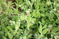 Sugar Pea. Pisum sativum, cultivar developed by IARI, cultivated annual herb with pinnate leaves, terminal tendril, red flowers in racemes and inflated pods Stock Image