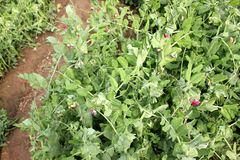 Sugar Pea. Pisum sativum, cultivar developed by IARI, cultivated annual herb with pinnate leaves, terminal tendril, red flowers in racemes and inflated pods Royalty Free Stock Photography