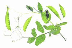 Sugar peas. Fruit pods and leaves, before a white background Royalty Free Stock Photo