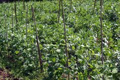 Sugar peas and broad beans plants Royalty Free Stock Photo