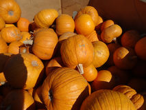 Sugar Pie pumpkin, Cucurbita pepo Royalty Free Stock Photo