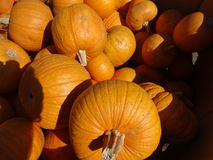 Sugar Pie pumpkin, Cucurbita pepo Royalty Free Stock Photography