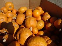 Sugar Pie pumpkin, Cucurbita pepo Royalty Free Stock Photo