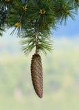 Sugar Pine Pinecone Royalty-vrije Stock Fotografie